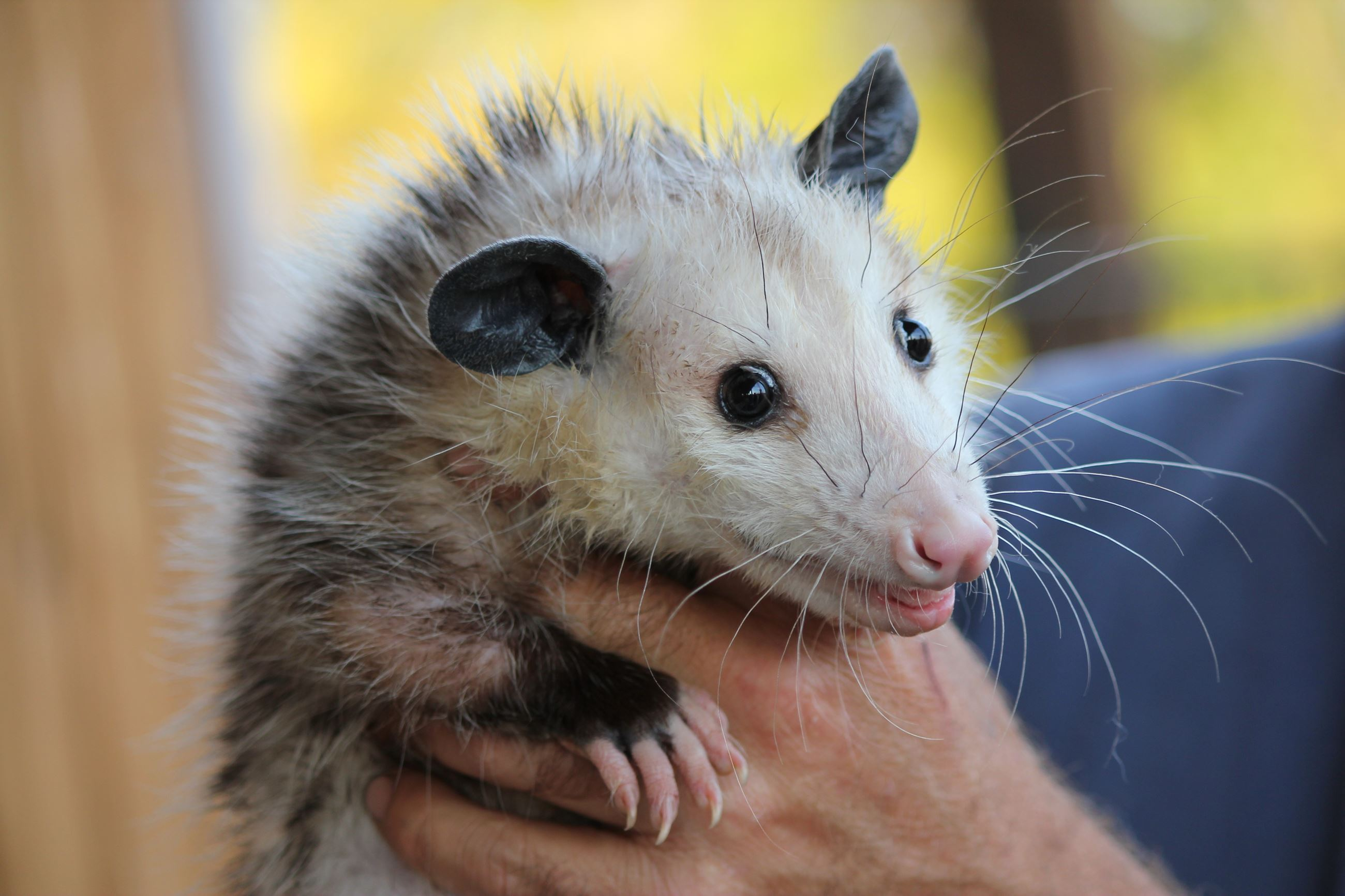person hold an opossum